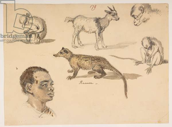 f.65 179 Man's head, racoon, goat and monkeys, from an Album of 372 drawings of landscapes, coastlines, costumes and everyday life made during Lord Macartney's embassy to the Emperor of China, between 1792 and 1794 (pencil & w/c on paper)