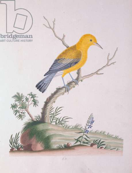 Gold Bird, 1790 (w/c on paper)