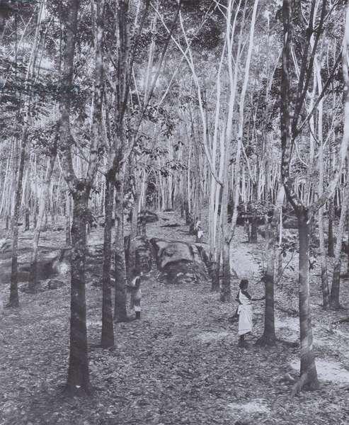 A Ceylon Rubber Plantation (b/w photo)