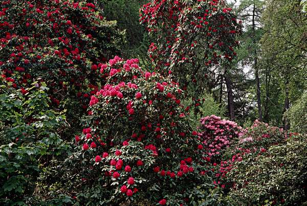 Rhododendrons on the Hill of Howth as referred to in James Joyce, 'Ulysses', Howth, Dublin, Ireland (photo)