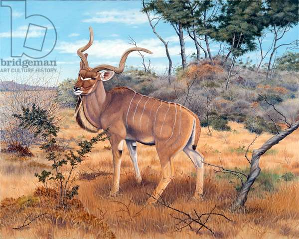 Greater kudu, Kenya (oil on canvas)