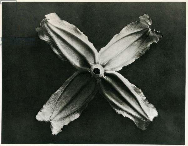 Clematis Integrifolia, 1929 (photogravure)