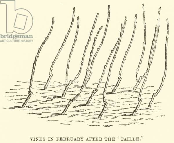 Vines in February after the 'Taille' (engraving)