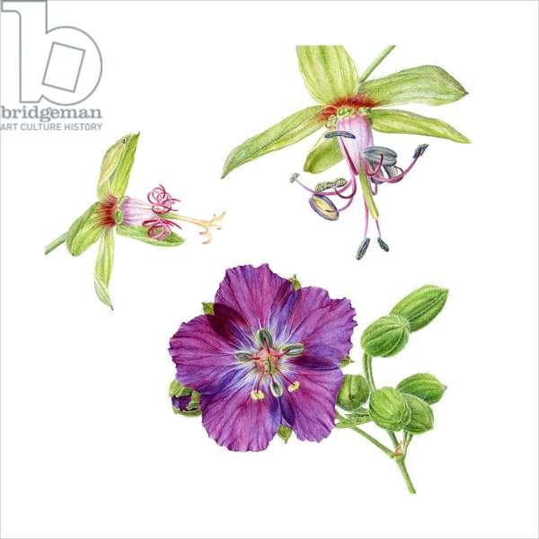 Geranium phaeum