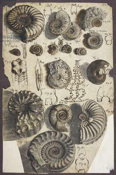 Ms Add. 5262, no. 152 Snake-stones (ammonites) (pen & ink with wash on paper)