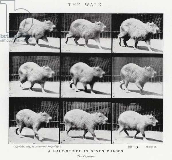Eadweard Muybridge: The Walk (b/w photo)