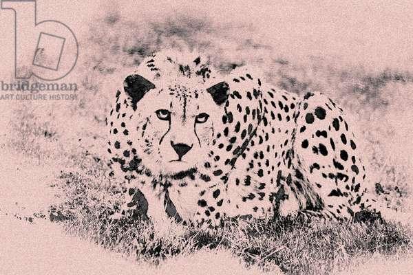 Spotted Leopard, from the series Sketches of Big Cats, 2020, (photograph)