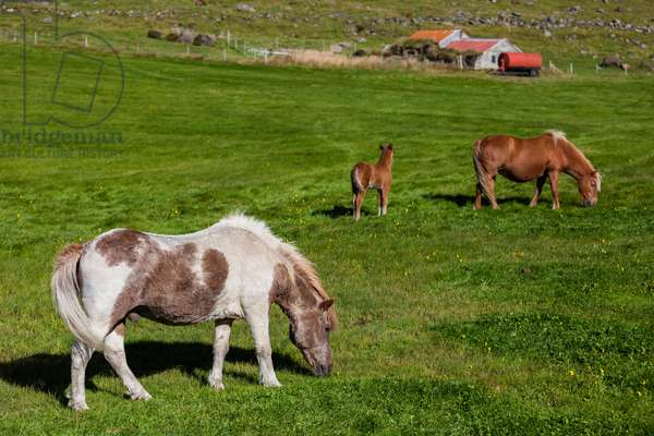 Icelandic ponies and a colt grazing in a green meadow on a farm