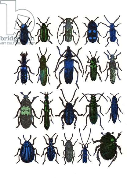 Beetles- blue / green, 2013, (screen print)