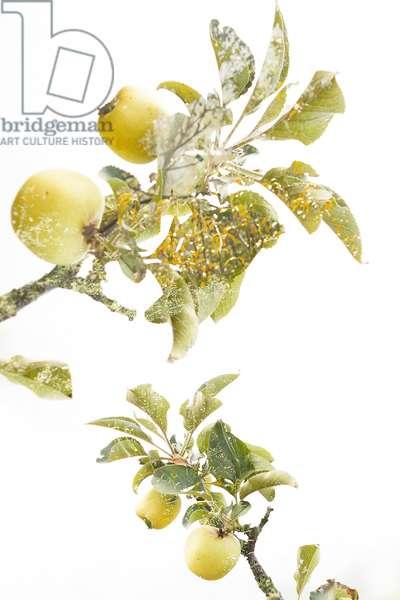Lemons In the Garden #1