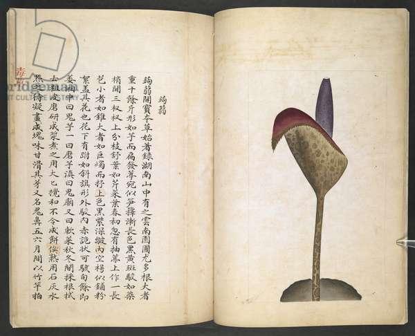 Or 13347 B ff.6v-7r Devil's Tongue or Devil's Trumpet, from 'Du Cao (Poisonous Plants)' (ink & colour on paper)