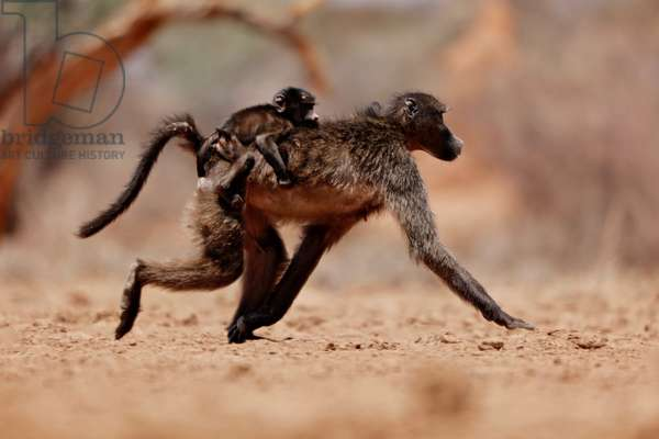 Hitching a ride (baboon), 2019, (photograph)