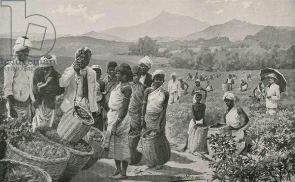 View of a Tea-Garden in Ceylon (litho)