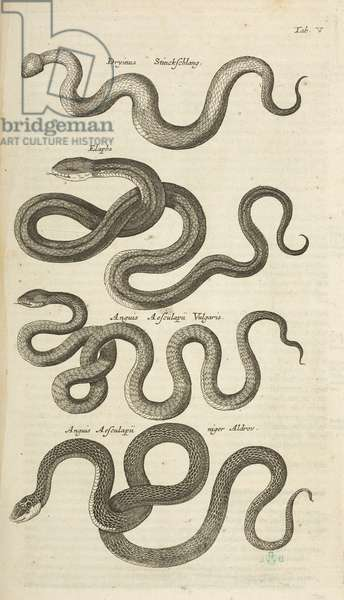 Tab V, Snakes, Illustration from from 'Historiæ naturalis de quadrupetibus', 1657 (engraving)