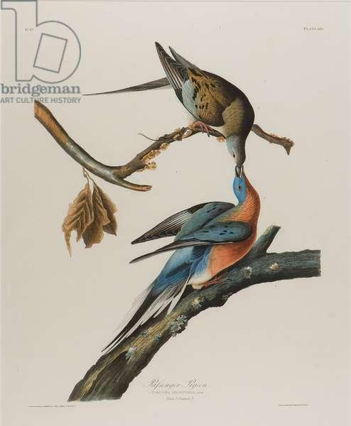 Passenger Pigeon, 1827-1838 (w/c on paper)