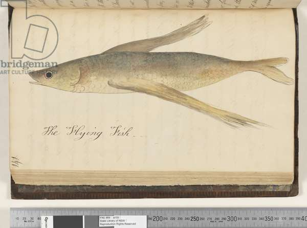 Page 141.The Flying Fish, 1810-17 (w/c & manuscript text)