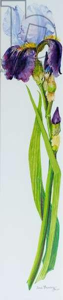 Iris with Three Buds, 2010,watercolour