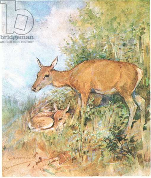 She always had a cosy bed ready for him in grass or fern (colour litho)
