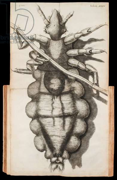 Foldout illustration of a louse on a strand of hair from 'Micrographia' about observations through a microscope by Robert Hooke published in 1665