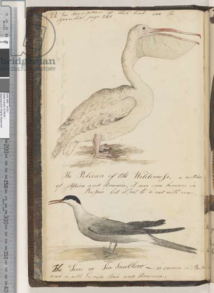Page 22. The Pelican of the Wilderness; the Tern or Sea Swallow, 1810-17 (w/c & manuscript text)