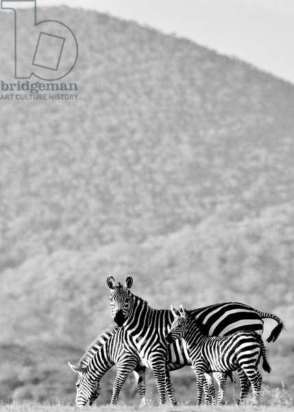 Zebra, Chyulus, 2018, (photograph)