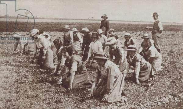 British land girls at work in the fields, World War I, 1916 (b/w photo)