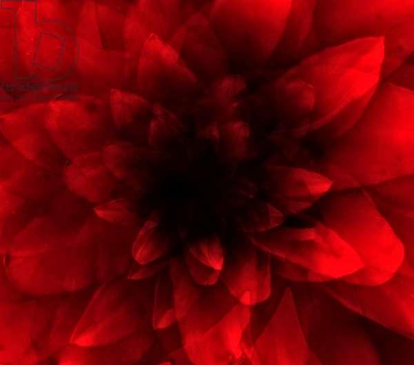 Flower red shade, 2016 (digital art print)