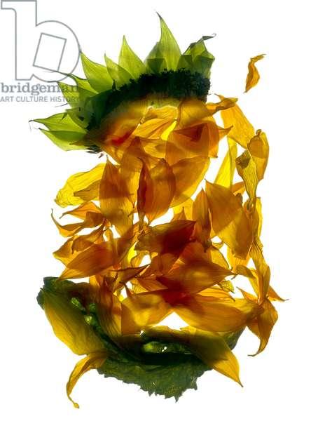 Chiquita Sunflower (digital photogram, digital original print)