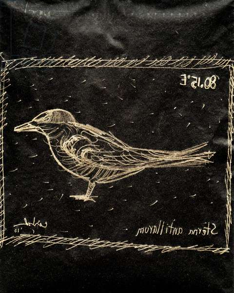 (80.15 W) Least Tern, 2010 (carbon paper drawing)