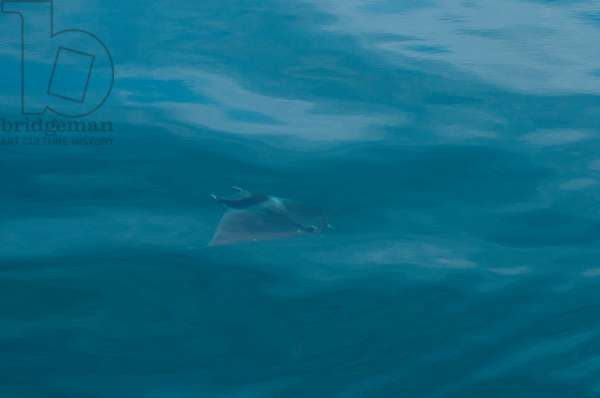 A mobula ray, Mobula diabolus, just below the surface of the sea