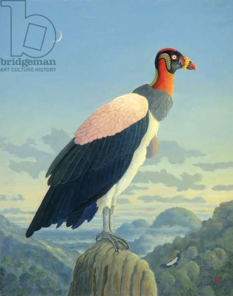 King Vulture (Sarcoramphus papa) (oil on canvas)
