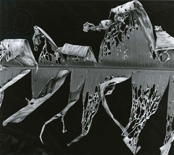 Torn Leaf, Hawaii (Banana Leaf, Hawaii), 1978 (silver gelatin print)
