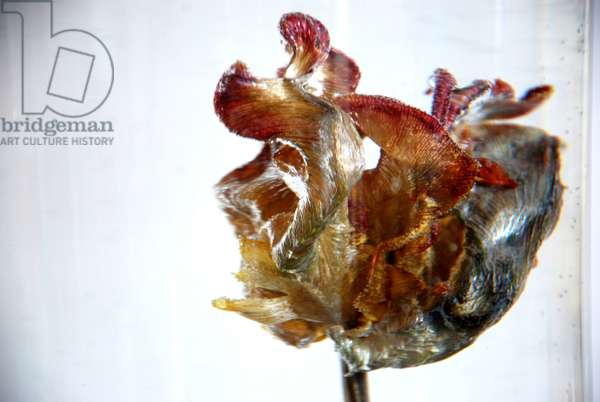 Water Tulip 4, 2013, photograph