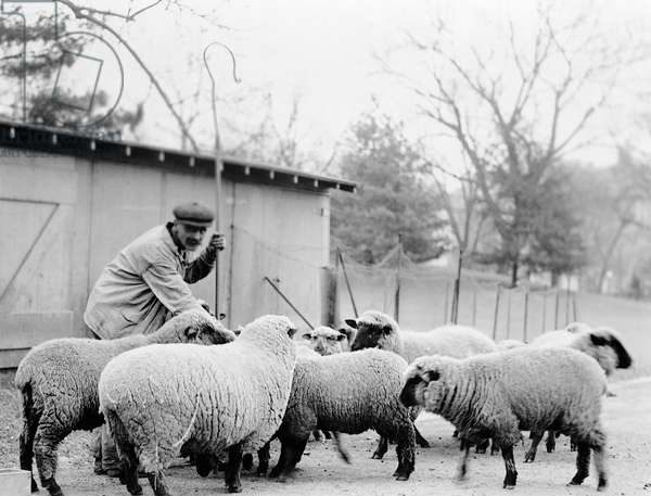 WHITE HOUSE SHEEP A shepherd with a group of sheep, which were kept on the White House lawn while Woodrow Wilson was in office, 1913-1921.
