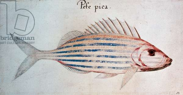 Pefe pica (Blue striped grunt fish), 1585-1593, drawing by John White (ca 1540, died 1593-1606), governor of Americas, North America, 16th century