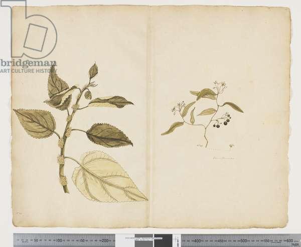 F.17 Boehmeria Australis; Geitonoplesium cymosum, c.1790-95 (w/c & ink on paper)