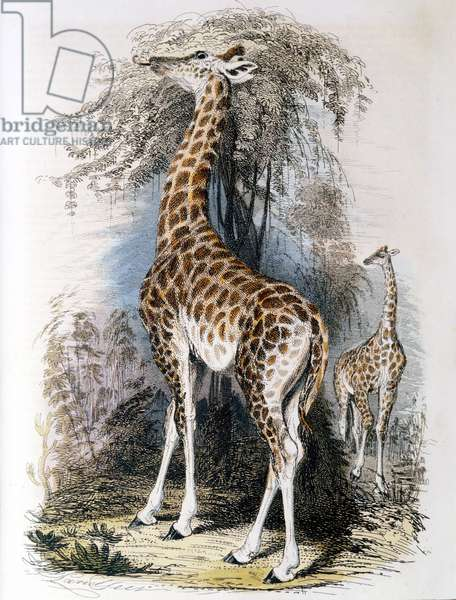 Giraffe browsing on tree. Jean Lamarck (1744-1829) French naturalist, considered the giraffe illustrated his Transformism (inheritance of acquired characteristics) theory of evolution. Hand-coloured engraving published 1836.