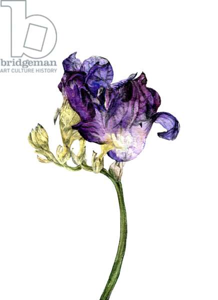 Freesia flower, 2018, (watercolour and pencil on paper);