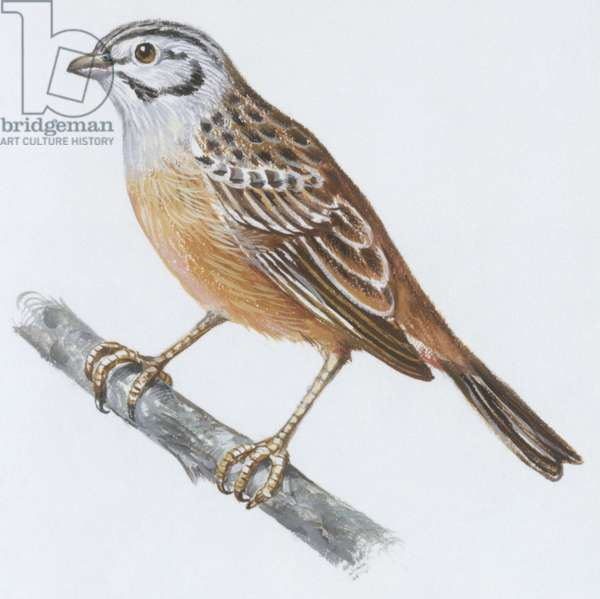 Zoology: Birds, Rock Bunting, (Emberiza cia), illustration