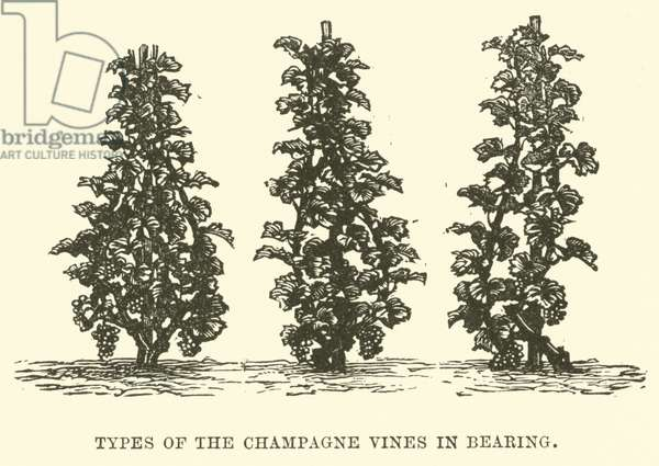 Types of the Champagne Vines in Bearing (engraving)
