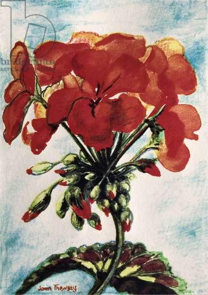 Geranium, (watercolour)