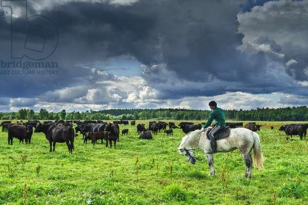 Cattle on the pasture of the Sputnik cattle farm in the Leningrad Region, Alexei Danichev/Sputnik (photo)