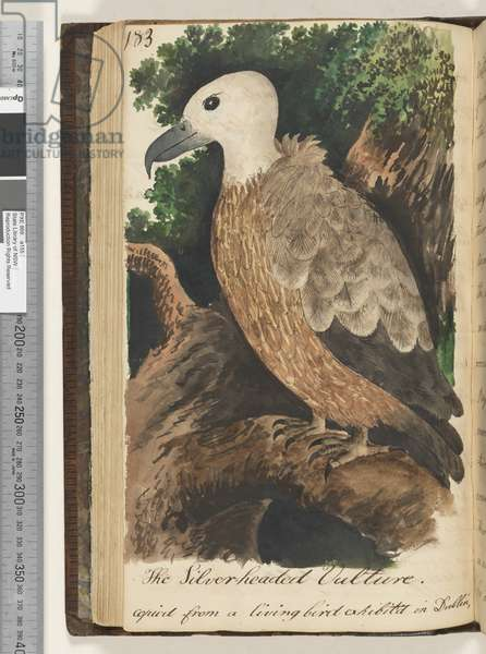Page 183. The Silver headed Vulture, 1810-17 (w/c & manuscript text)
