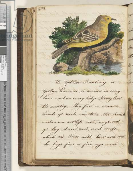 Page 405. The Yellow Bunting, 1810-17 (w/c & manuscript text)