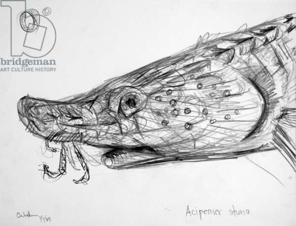 0E European Sea Sturgeon, 2009, (graphite on paper)