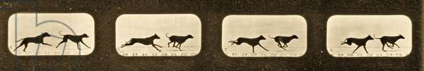 Image sequence of running Greyhounds,  'Animal Locomotion' series, c.1881 (b/w photo)