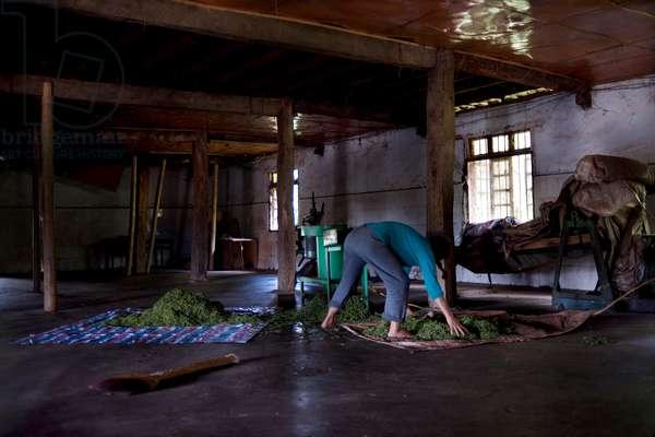 Drying Tea, China (photo)