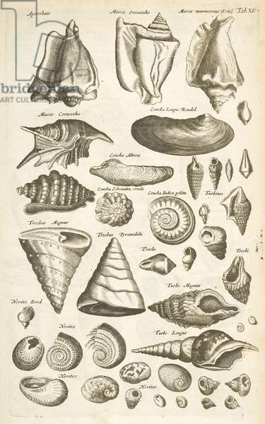 Tab XI, Various shells, Illustration from from 'Historiæ naturalis de quadrupetibus', 1657 (engraving)