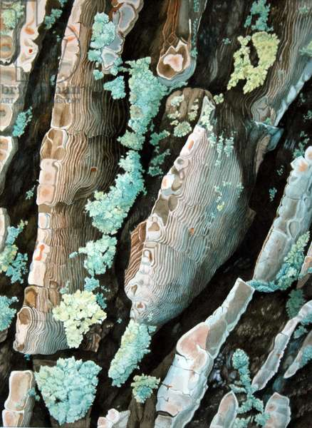Pine tree bark, France (w/c on paper)