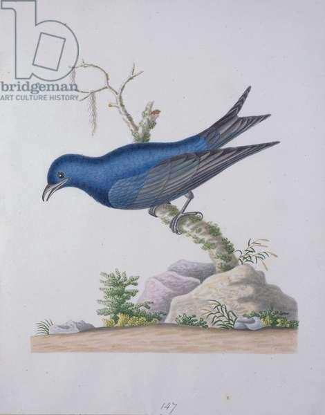 Purple Swallow, 1790 (w/c on paper)